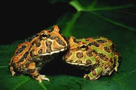caring for pacman frogs as pets