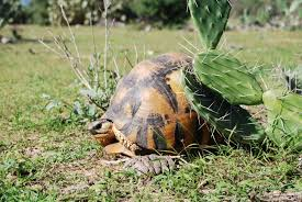 plants native to madagascar one thousand tortoises a week illegally gathered in south