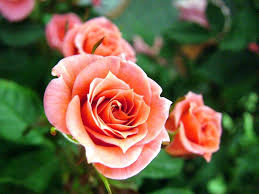 46 best roses images on pinterest rose flowers beautiful roses