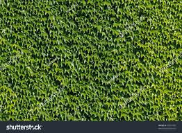 wall green leaves climbing plant stock photo 55091998 shutterstock