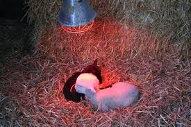 file lambs under a heating lamp jpg wikimedia commons