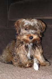 81 best yorkie poo love images on pinterest animals yorkies