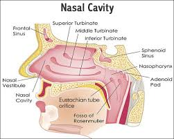 Anatomy Of Women Body The 25 Best Nasal Cavity Ideas On Pinterest Ring Of Red