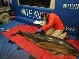 cape cod dolphin stranding season keeps rescuers busy wcai