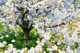 birkat ha ilanot blessing for a blossoming fruit tree ou kosher