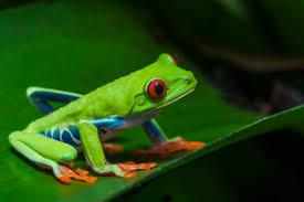 eyed tree frog care sheet clubfauna