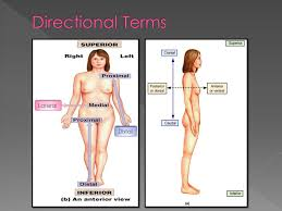 Directional Terms Human Anatomy Anatomy And Physiology Honors Ppt Download