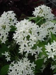 Pentas Flower Pentas Lanceolata U0027graffiti White U0027 Pentas White From Mortellaros