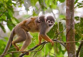spider monkey facts diet u0026 habitat information