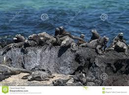 Iguana Island Marine Iguanas Sunbathing Galapagos Islands Stock Photos Image
