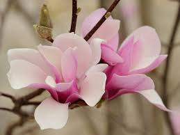 100 japanese white pink magnolia saucer flower seed ornamental