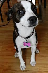 bluetick coonhound terrier mix 16 best boston boy u003c3 images on pinterest boston terriers