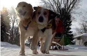 australian shepherd x golden retriever photos regina man uses dogs to pull dog sled around the city