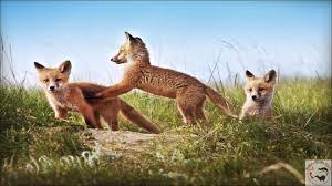 sleeping red fox wallpapers images of red fox wallpaper desktop sc