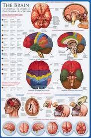 anatomy of the brain neurology education poster 24x36 the human