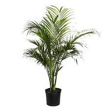 Potted Patio Trees by Shop House Plants At Lowes Com