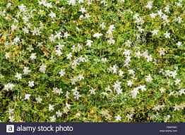 jasmine creeper with white flowers growing on a wall stock photo