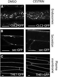 cesa trafficking inhibitor inhibits cellulose deposition and
