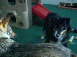 australian shepherd vs brittany german shepherd plays with brittany spaniel puppy youtube