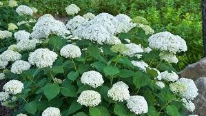 hydrangea white wee white hydrangea s design build