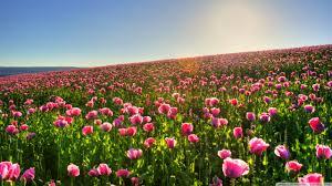 desktop wallpaper field of flowers wallpaper