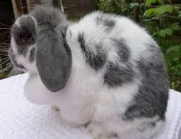 beutiful blue butterfly mini lop doe rabbit braintree essex