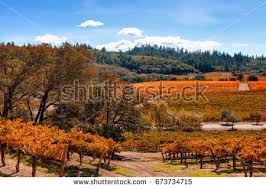 vineyard autumn fall colors close clusters stock photo 670256512