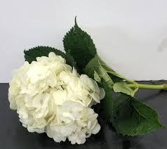 white hydrangea hydrangeas