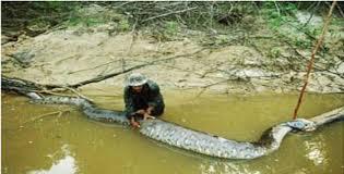vidio film ular anaconda penemuan ular raksasa di banda aceh penemuan ular raksasa di