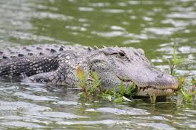 alligator on a river with plants free image peakpx