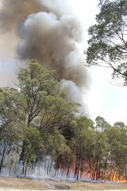 trees are also native plants eucalyptus oil and fire u2013 information about flammable eucalyptus trees