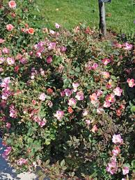 how to start a rose garden