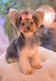 haircuts for yorkies with thin hair repinned yorkie hairstyle yorkie hairstyles pinterest yorkie