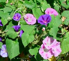 moon flowers morning glories and moonflowers