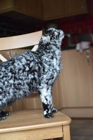 scrappy the senior cat u0027s fur changes from all black to marble pattern
