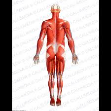 Human Anatomy Full Body Picture Posterior View Full Body Superficial Muscles Blood Vessels