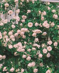 climbing above all witherspoon rose culture