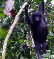 siege social bonobo where the bonobos are bonobo trekking congo drc oct 2009