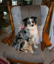 adopt a australian shepherd whether or not to adopt a second mini aussie as a friend for our 1