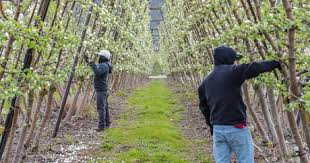 The Trellis And The Vine Apples On The Vine An Innovative Method To Grow Fruit Trees