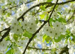 bird cherry tree prunus padus graftingardeners