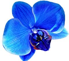 blue orchid flower blue orchid flower