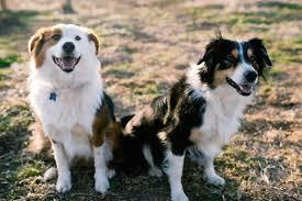 australian shepherd energy bred for work herd dogs like english shepherds help bring order
