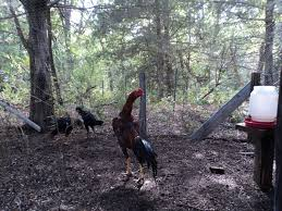 Can I Have Chickens In My Backyard by Shamo And Thai Chickens For Pets Backyard Chickens