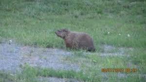 marmot groundhog woodchuck picture parkville nature sanctuary