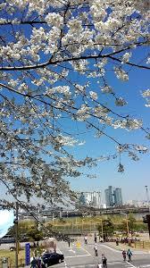 korea u0027s cherry blossom festival paw steps around the world