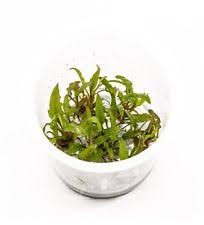 Java Moss Aquascape Cryptocoryne Wendtii Tropica Live Aquarium Plants Java Moss