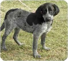 bluetick coonhound dog new fairfield ct bluetick coonhound meet zelda a dog for adoption