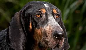 bluetick coonhound in tennessee bluetick coonhound breed information