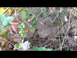 Chickens Backyard Frozen Chickens Backyard Chickens Freeze As Hawk Flies Over